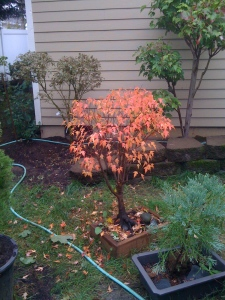 We purchased this tree at the Rotary Tree Sale in Sherwood, back in 2007.